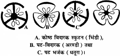 RBSE Solutions for Class 11 Biology Chapter 22 फल तथा बीज img-13