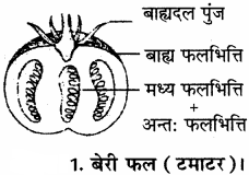 RBSE Solutions for Class 11 Biology Chapter 22 फल तथा बीज img-15