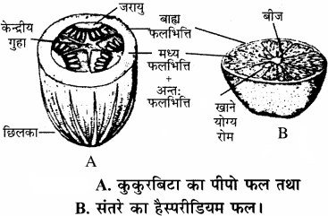RBSE Solutions for Class 11 Biology Chapter 22 फल तथा बीज img-16