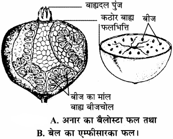RBSE Solutions for Class 11 Biology Chapter 22 फल तथा बीज img-17