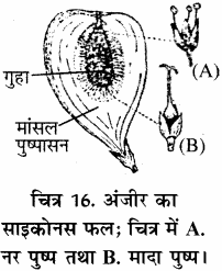 RBSE Solutions for Class 11 Biology Chapter 22 फल तथा बीज img-20
