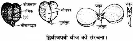 RBSE Solutions for Class 11 Biology Chapter 22 फल तथा बीज img-23