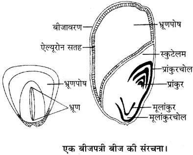 RBSE Solutions for Class 11 Biology Chapter 22 फल तथा बीज img-24