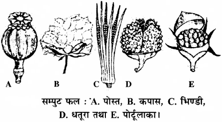 RBSE Solutions for Class 11 Biology Chapter 22 फल तथा बीज img-6