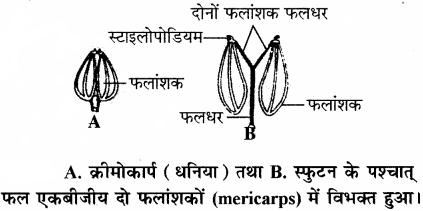 RBSE Solutions for Class 11 Biology Chapter 22 फल तथा बीज img-8