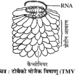 E:\sravanthi\books\Advisor Class 12 Chemistry Part I (English Me)\png\biologu ch1\RBSE Solutions for Class 11 Biology Chapter 3 विषाणु या वाइरस