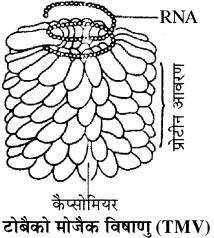 RBSE Solutions for Class 11 Biology Chapter 3 विषाणु या वाइरस img-1