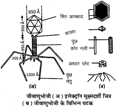 RBSE Solutions for Class 11 Biology Chapter 3 विषाणु या वाइरस img-6