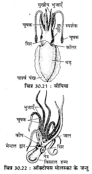 RBSE Solutions for Class 11 Biology Chapter 30 अकशेरुकी जन्तुओं का वर्गीकरण img-2