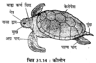 RBSE Solutions for Class 11 Biology Chapter 31 कशेरुकी जन्तुओं का वर्गीकरण img-6