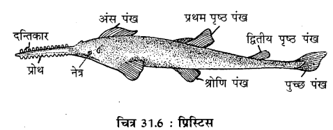 RBSE Solutions for Class 11 Biology Chapter 31 कशेरुकी जन्तुओं का वर्गीकरण img-9