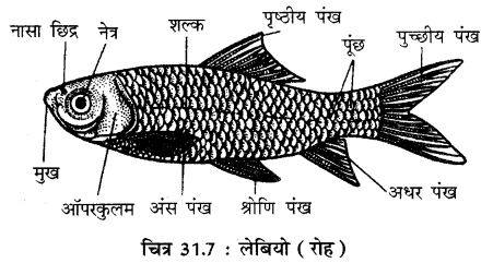 RBSE Solutions for Class 11 Biology Chapter 31 कशेरुकी जन्तुओं का वर्गीकरण img-10