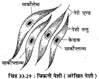 RBSE Solutions for Class 11 Biology Chapter 33 जन्तु ऊतक img-12