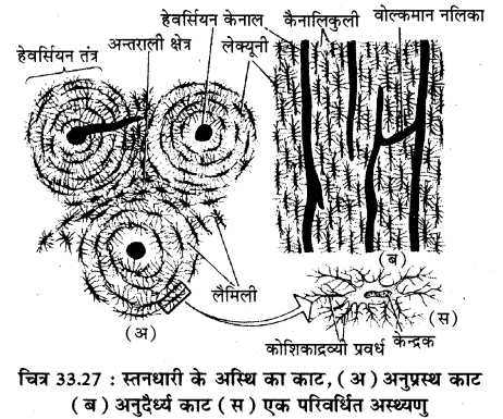 RBSE Solutions for Class 11 Biology Chapter 33 जन्तु ऊतक img-10