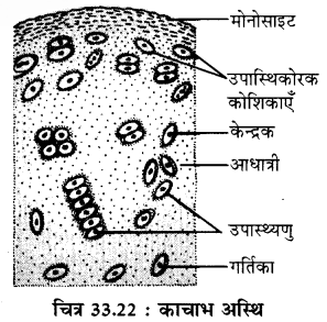 RBSE Solutions for Class 11 Biology Chapter 33 जन्तु ऊतक img-14