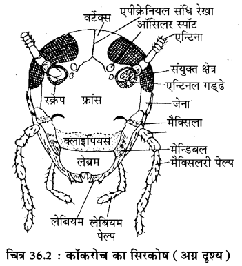 RBSE Solutions for Class 11 Biology Chapter 36 तिलचट्टा img-8