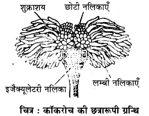 RBSE Solutions for Class 11 Biology Chapter 36 तिलचट्टा img-6