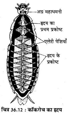 RBSE Solutions for Class 11 Biology Chapter 36 तिलचट्टा img-15