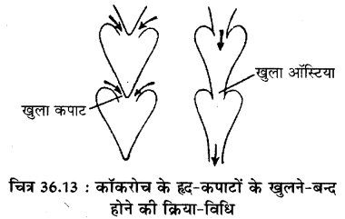 RBSE Solutions for Class 11 Biology Chapter 36 तिलचट्टा img-16