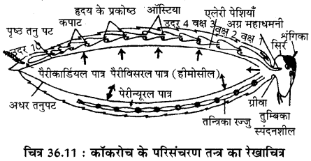 RBSE Solutions for Class 11 Biology Chapter 36 तिलचट्टा img-14