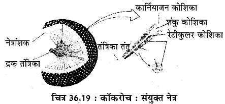 RBSE Solutions for Class 11 Biology Chapter 36 तिलचट्टा img-18