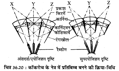 RBSE Solutions for Class 11 Biology Chapter 36 तिलचट्टा img-19