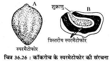 RBSE Solutions for Class 11 Biology Chapter 36 तिलचट्टा img-25