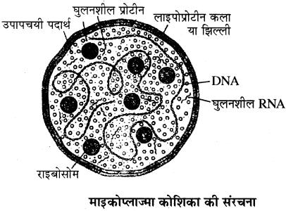 RBSE Solutions for Class 11 Biology Chapter 4 जगत्: मोनेरा, प्रोटिस्टा तथा कवकें img-11