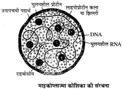 RBSE Solutions for Class 11 Biology Chapter 4 जगत्: मोनेरा, प्रोटिस्टा तथा कवकें img-2