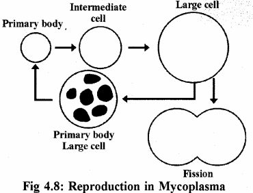 RBSE Solutions for Class 11 Biology Chapter 4 Kingdom: Monera, Protista and Fungi img-3