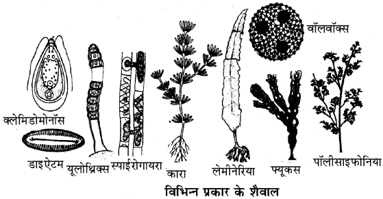 RBSE Solutions for Class 11 Biology Chapter 5 पादप जगत img-2