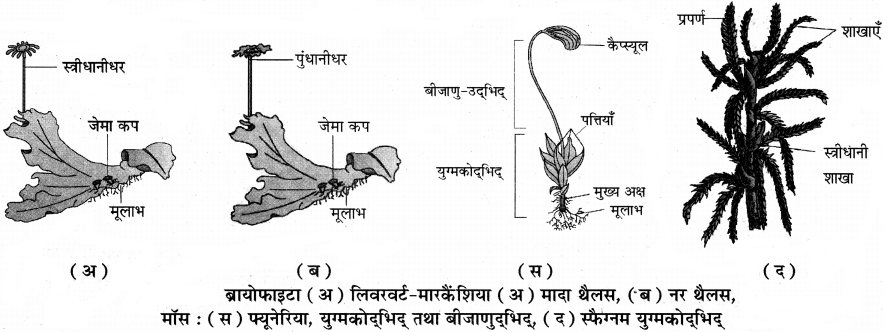 RBSE Solutions for Class 11 Biology Chapter 5 पादप जगत img-1