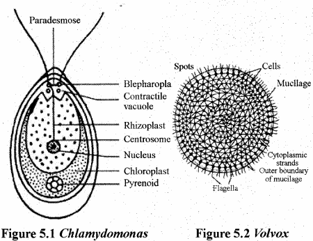 RBSE Solutions for Class 11 Biology Chapter 5 Plant Kingdom img-2