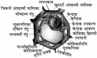RBSE Solutions for Class 11 Biology Chapter 6 कोशिका img-1