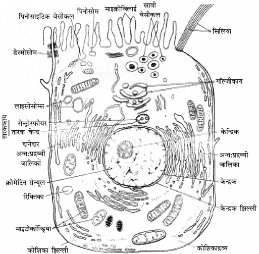 RBSE Solutions for Class 11 Biology Chapter 6 कोशिका img-3