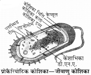 RBSE Solutions for Class 11 Biology Chapter 6 कोशिका img-2