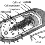 E:\Books\Toppers Choice Class 11 Biology Part 1\images-bio\RBSE Solutions for Class 11 Biology Chapter 6 The Cell.png
