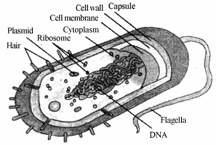 RBSE Solutions for Class 11 Biology Chapter 6 The Cell img-2
