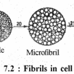 RBSE Solutions for Class 11 Biology Chapter 7 Cell Wall and Cell Membrane