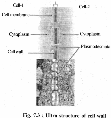 RBSE Solutions for Class 11 Biology Chapter 7 Cell Wall and Cell Membrane img-3