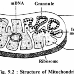 RBSE Solutions for Class 11 Biology Chapter 9 Structure and Functions of Cell Organelles.2
