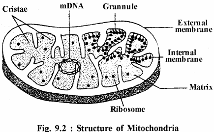 RBSE Solutions for Class 11 Biology Chapter 9 Structure and Functions of Cell Organelles img-1