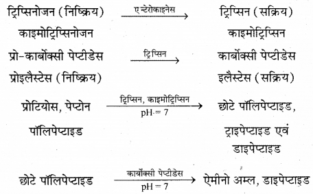 RBSE Solutions for Class 12 Biology Chapter 22 मानव का पाचन तंत्र 14