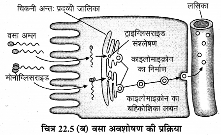RBSE Solutions for Class 12 Biology Chapter 22 मानव का पाचन तंत्र 19