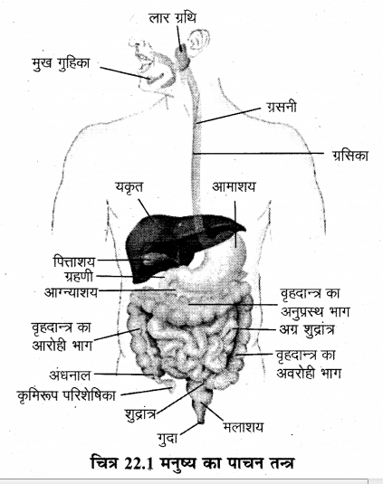 RBSE Solutions for Class 12 Biology Chapter 22 मानव का पाचन तंत्र 4