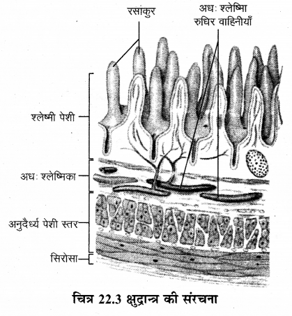 RBSE Solutions for Class 12 Biology Chapter 22 मानव का पाचन तंत्र 7