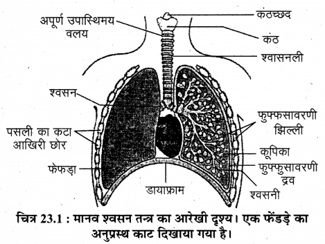 RBSE Solutions for Class 12 Biology Chapter 23 मानव का श्वसन-तंत्र 2