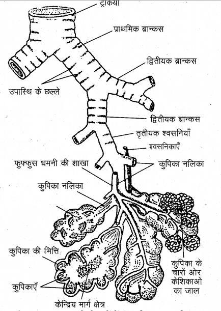 RBSE Solutions for Class 12 Biology Chapter 23 मानव का श्वसन-तंत्र 3