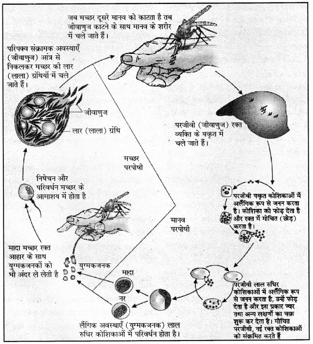 RBSE Solutions for Class 12 Biology Chapter 40 मानव के प्रमुख एवं सामान्य रोग