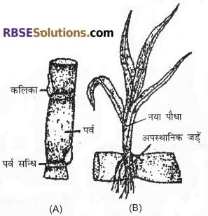 RBSE Solutions for Class 12 Biology Chapter 1 आवृतबीजी पादपों में जनन; कायिक, अलैंगिक, लैंगिक 2